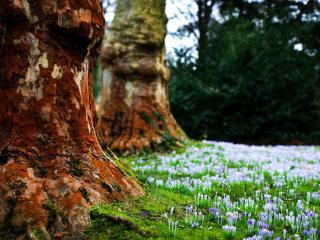 обои У старых стволов деревьев весеннее цветение фото