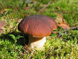 обои Вырос гриб на толстой ножке фото