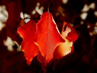 обои Листья красные фото