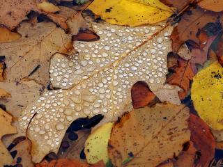 обои Осенние листья дуба фото