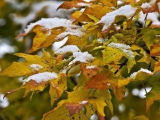 обои Первый снег на кленовых листьях фото