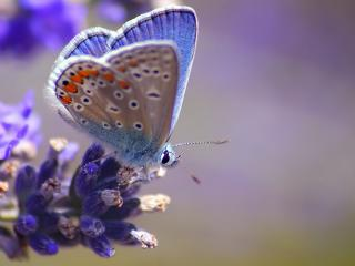 обои Мохнатая бабочка на синем цветке фото