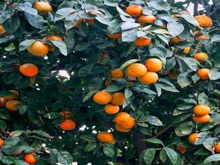 обои Мандариновый урожай фото