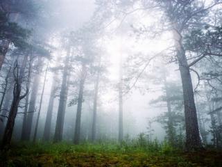 обои Сосновый лес в утреннем тумане фото