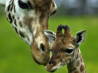 обои для рабочего стола: Мама жирафа с нежностью к малышу