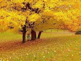 обои Жёлтый клён фото
