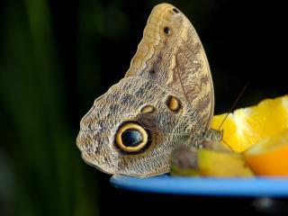 обои Бабочка на апельсине фото