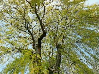 обои Осеннее вербное дерево фото