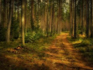 обои Просёлочная дорога в сосновом лесу фото