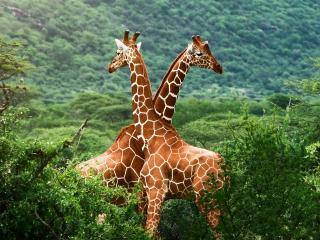 обои Два жирафа среди зелени фото