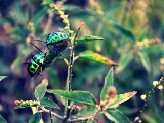обои Два пятнистых жука фото
