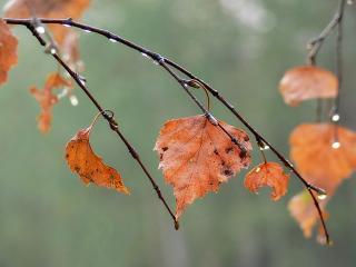 обои Дождь на осенней ветке берёзы фото