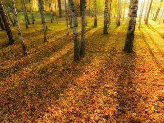 обои Осенние листья берёз фото