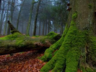 обои Деревья покрытые мхом в старом лесу фото