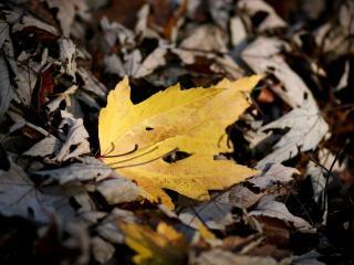 обои Желтый лист среди темной опавшей листвы фото