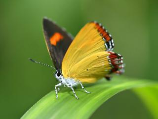 обои Мохнатая бабочка на листе фото