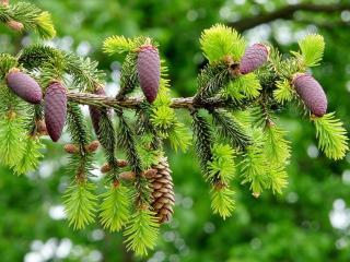 обои Хвойное дерево с молодыми отростками и шишками фото