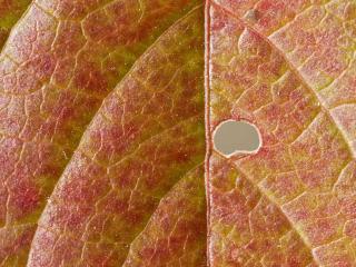 обои Дырка в листике фото