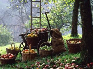 обои У яблони сбор фруктов фото