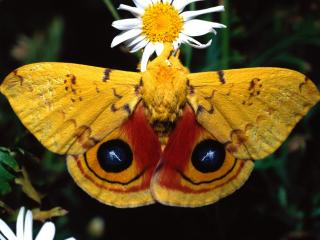 обои Мохнатая бабочка у белого цветка фото