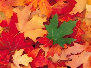 обои Одинокий зеленый листок на опавших листьях фото