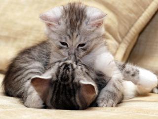 обои для рабочего стола: Поцелуй двух серых котят