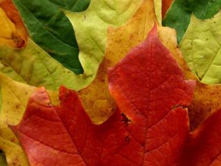 обои Разноцветные кленовые листья фото
