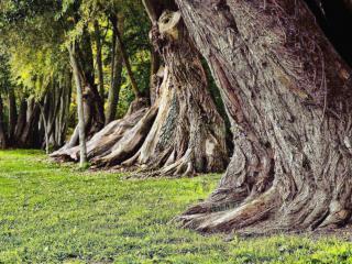 обои Удивительная форма ствола летних деревьев и зеленая трава в парке фото
