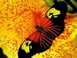 обои Бабочка на цветке Кана фото