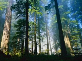 обои Густой лес закрывает небо фото