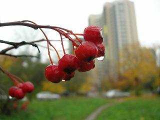 обои Рябина и дождь в городе фото