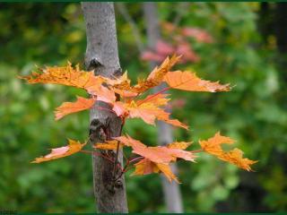 обои Осенний кленовый росток фото