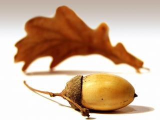 обои Плод Дуба - жёлудь фото