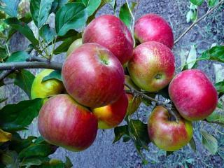 обои Сладкие яблоки фото