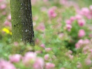 обои Ствол дерева и фон размытых розово-цветущих кустов фото