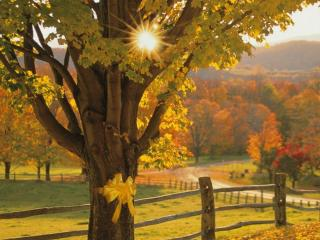 обои Солнце светит сквозь ветки клёна фото