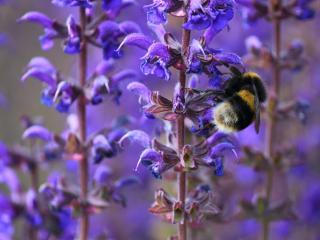 обои Шмель  на голубых цветочках фото