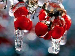 обои Замёрзшие капли рябины фото