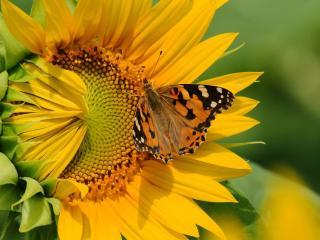 обои Бабочка на полураскрывшемся подсолнухе фото