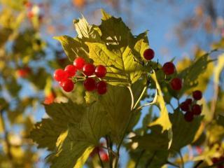 обои Последние ягодки лета фото