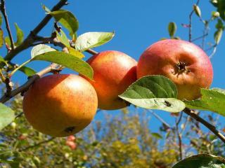 обои Три красных яблока фото
