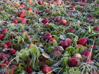 обои Яблоки осыпались фото