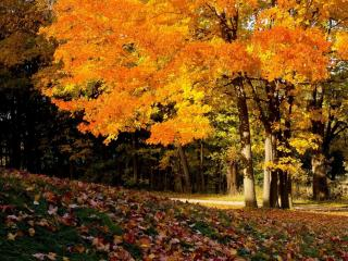 обои Осенний клён,   освещённый солнцем фото