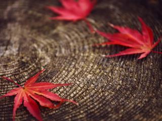 обои Красные листья на пне фото