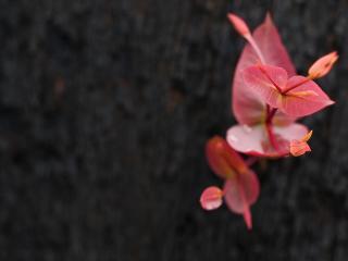 обои Розовые листики растения фото