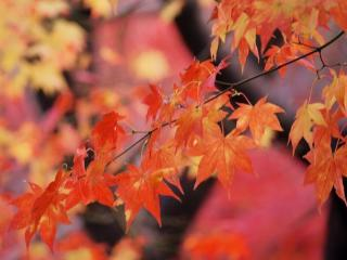 обои Осенняя веточка клёна фото
