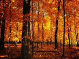 обои Кленовый лес осенний фото