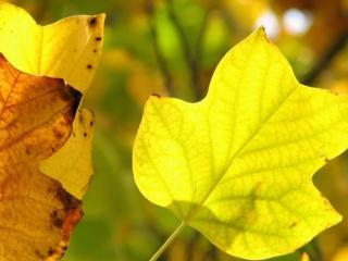обои Салатово-нежный цвет осенних листьев фото