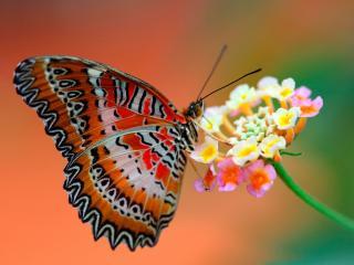 обои Бабочка балерина на соцветьи фото