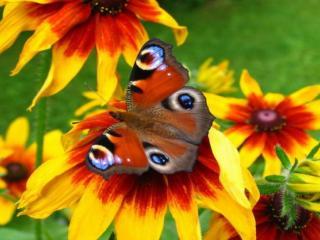 обои Бабочка на красно-жёлтом цветке фото